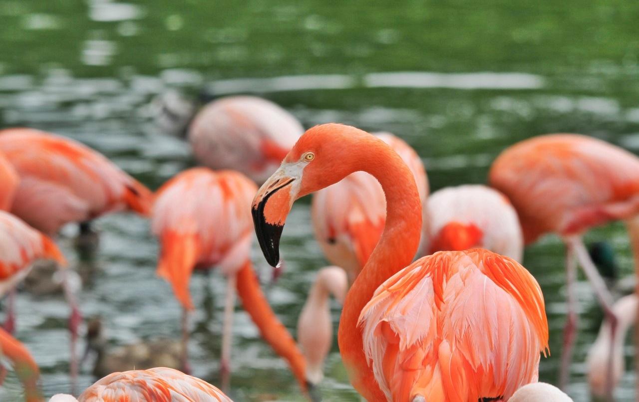 flamingos-989142_1280