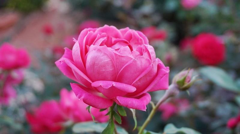 rose damascena bulgaria